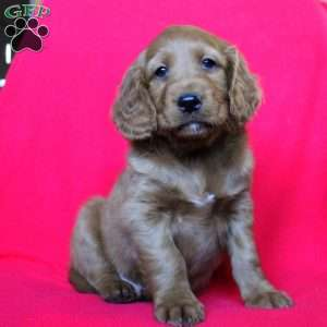Victory, Mini Goldendoodle Puppy