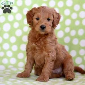 Wallace, Mini Goldendoodle Puppy