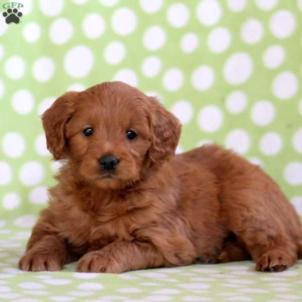 Watts, Mini Goldendoodle Puppy