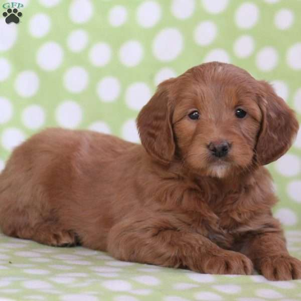 Wendy, Mini Goldendoodle Puppy