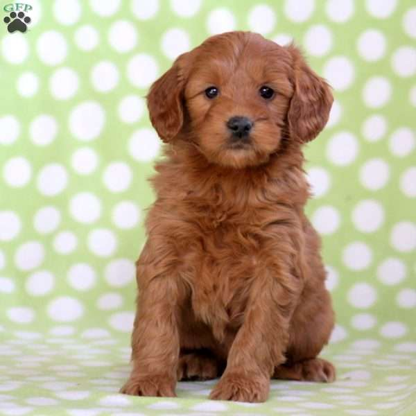 Whinny, Mini Goldendoodle Puppy