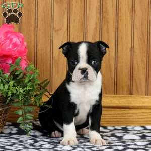Whiskers, Boston Terrier Puppy