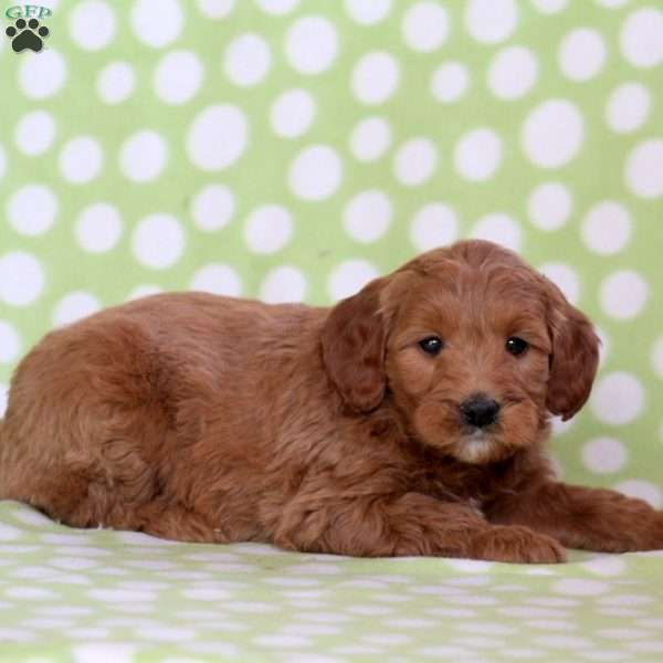 Whoopie, Mini Goldendoodle Puppy
