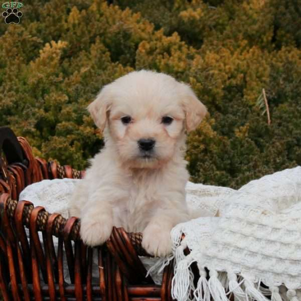 Wiggles, Mini Goldendoodle Puppy