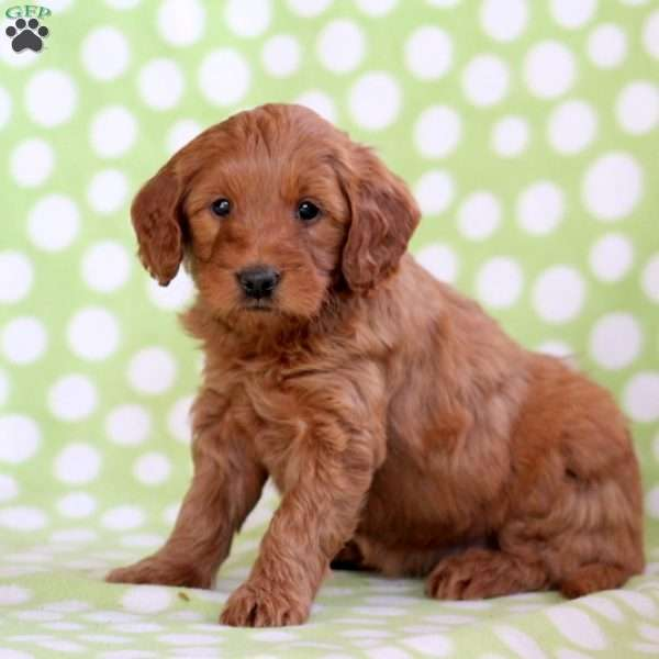 Wynnona, Mini Goldendoodle Puppy