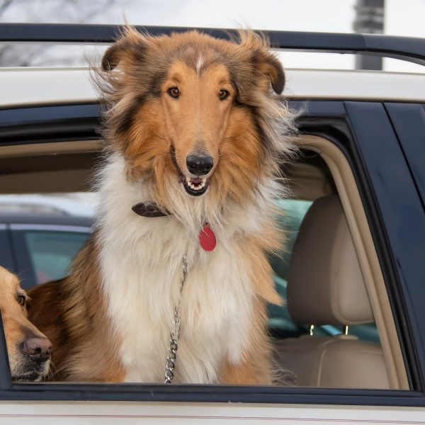 collie looking out of car window