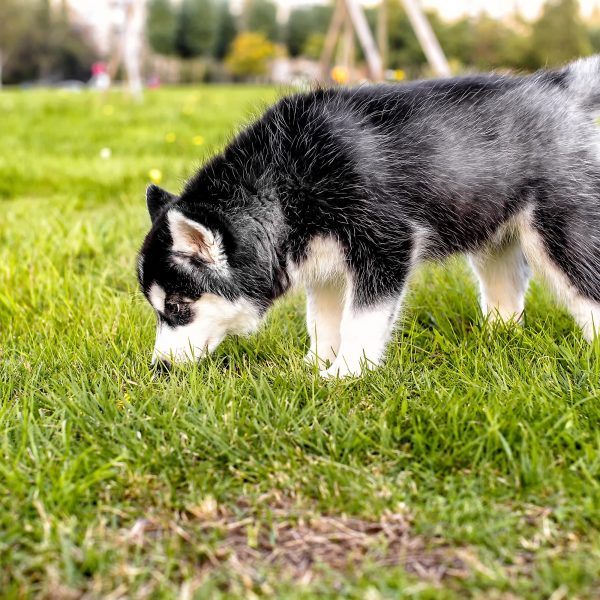 husky puppy sniffing in grass