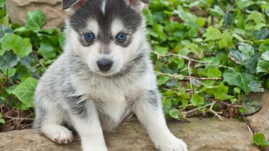 Pomsky Puppies For Sale - Pomsky Breed Profile | Greenfield