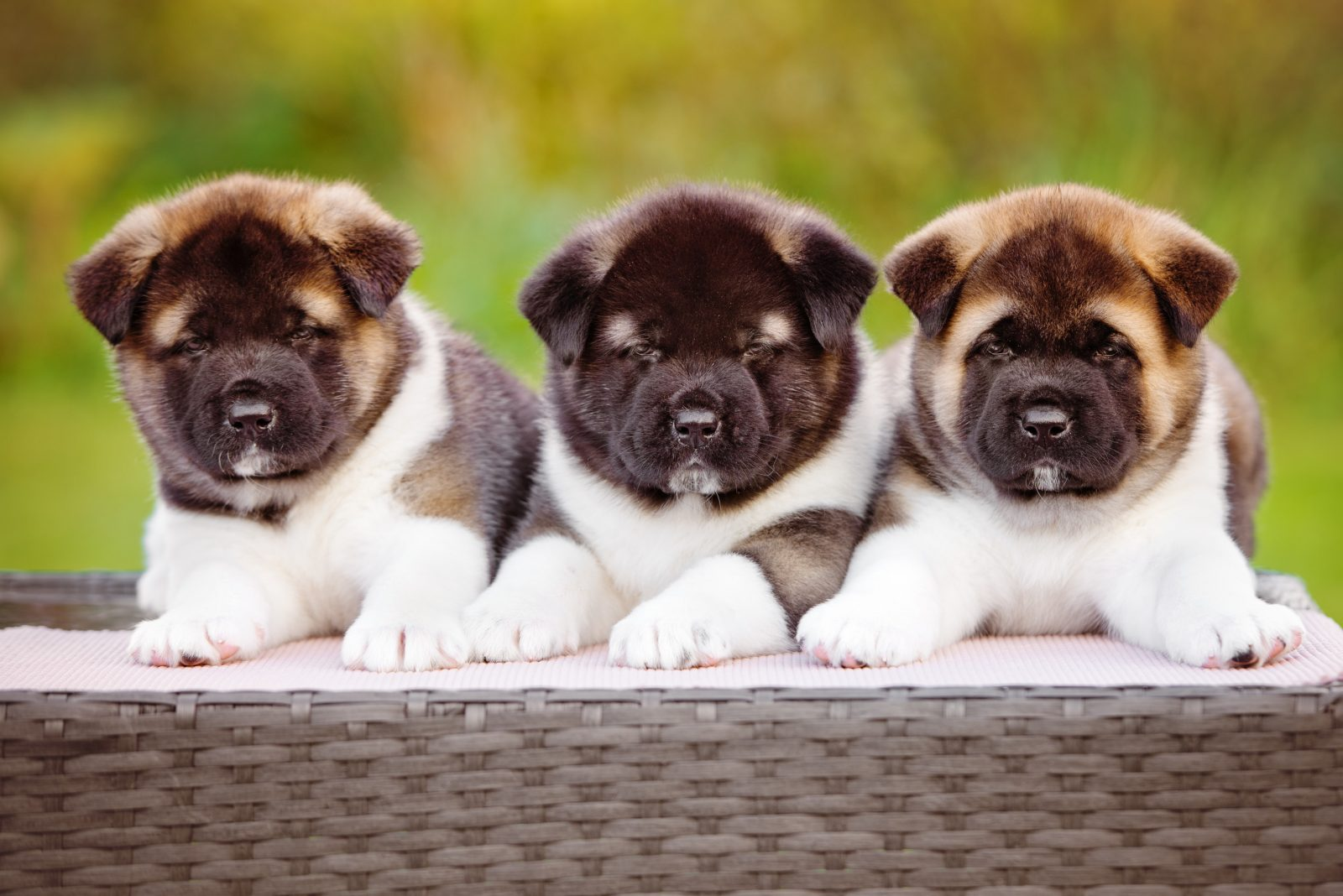 4 Things To Know About Akita Puppies Greenfield Puppies