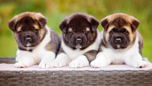 4 Things to Know About Akita Puppies