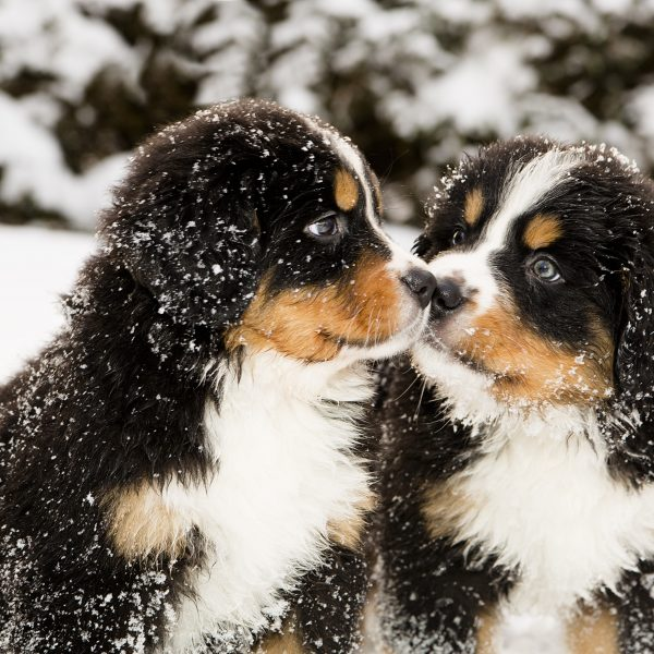 two bernese mountain dog puppies in the snow