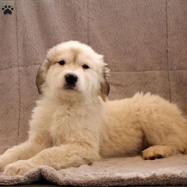 Ace, Great Pyrenees Puppy