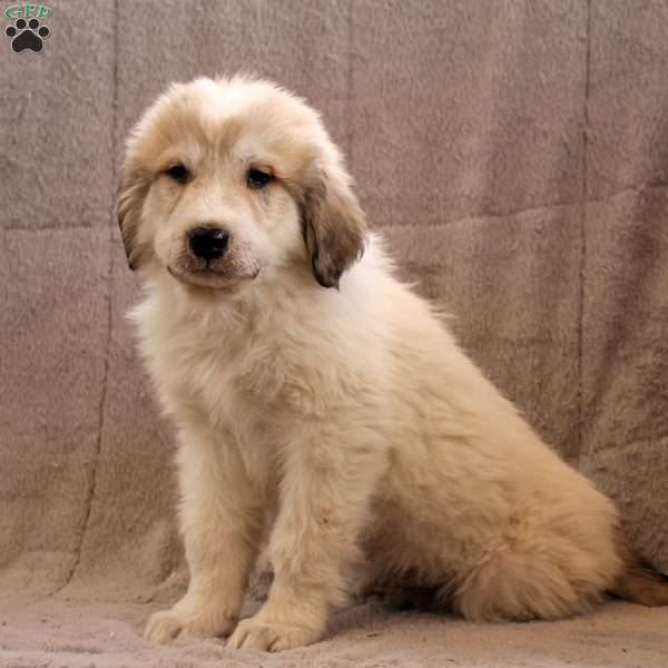 Aiden, Great Pyrenees Puppy