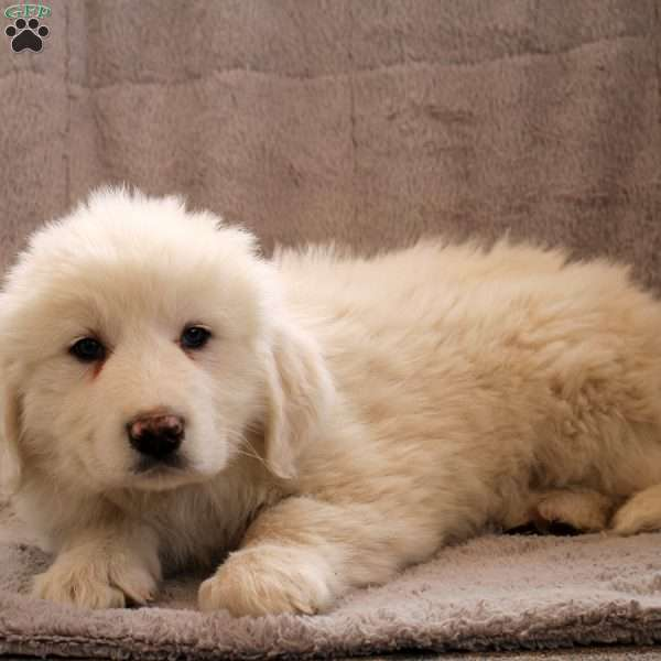 Anthony, Great Pyrenees Puppy