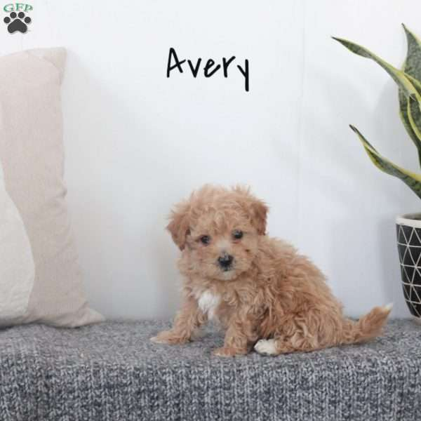 Avery Bich Poo Puppy For Sale In Pennsylvania
