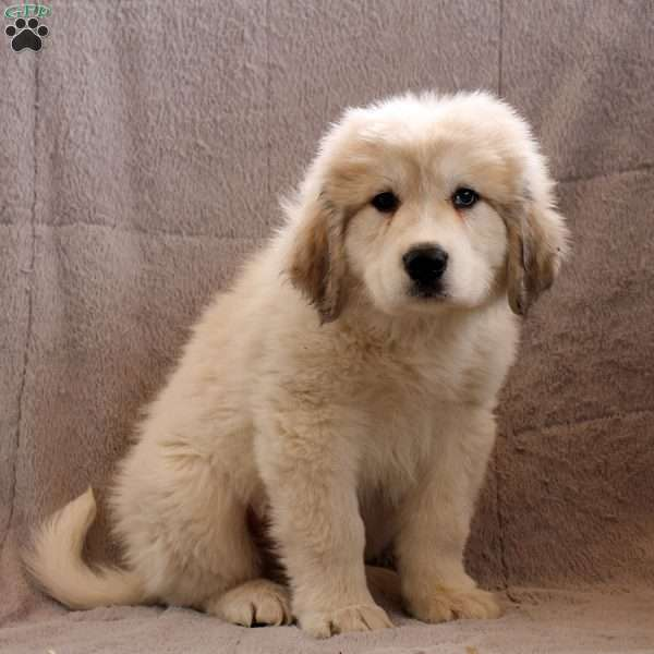 Avery, Great Pyrenees Puppy