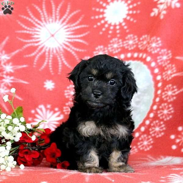 Bailey, Shih-Poo Puppy