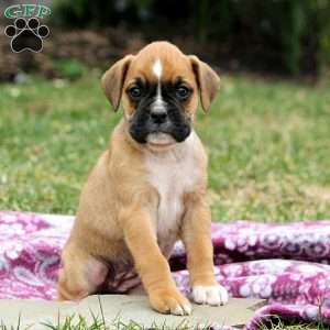 Bailey, Boxer Puppy