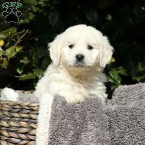 Barkley, Mini Goldendoodle Puppy