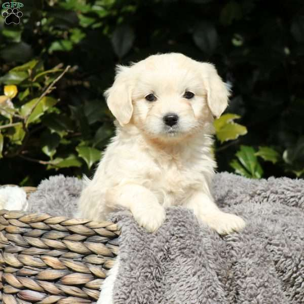 Basil, Mini Goldendoodle Puppy
