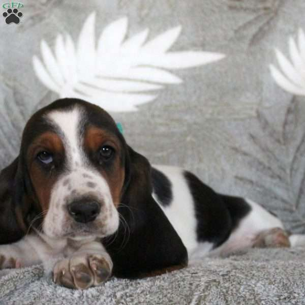 Beauty, Basset Hound Puppy