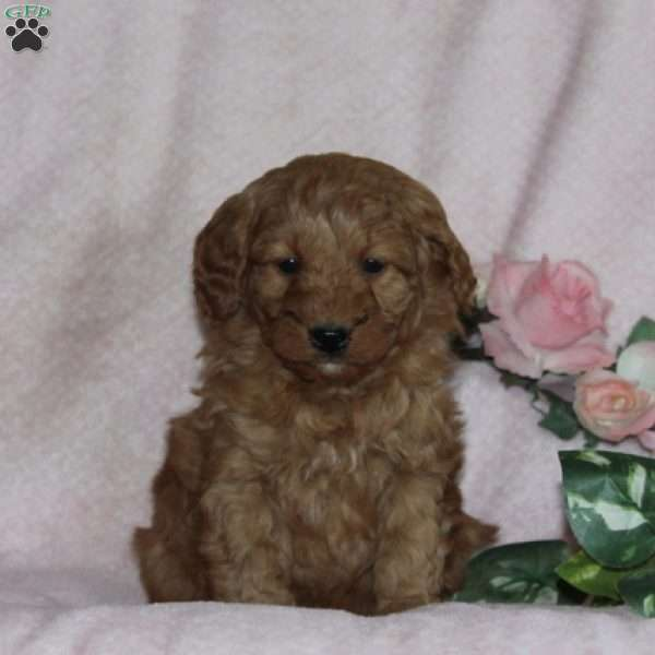 Bella, Mini Goldendoodle Puppy