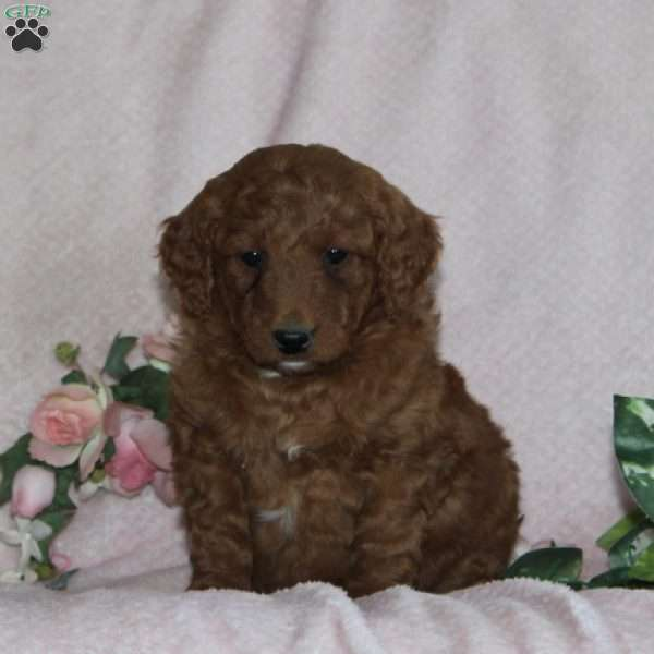 Billy, Mini Goldendoodle Puppy