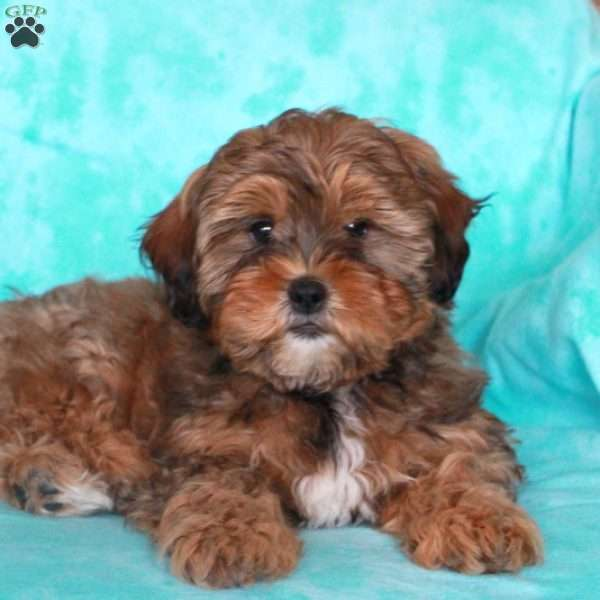 Biscuit, Shih-Poo Puppy