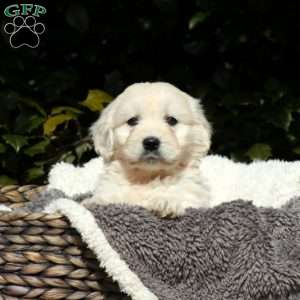 Boon, Mini Goldendoodle Puppy