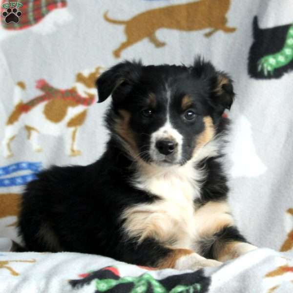 Caroline, Border Collie Mix Puppy