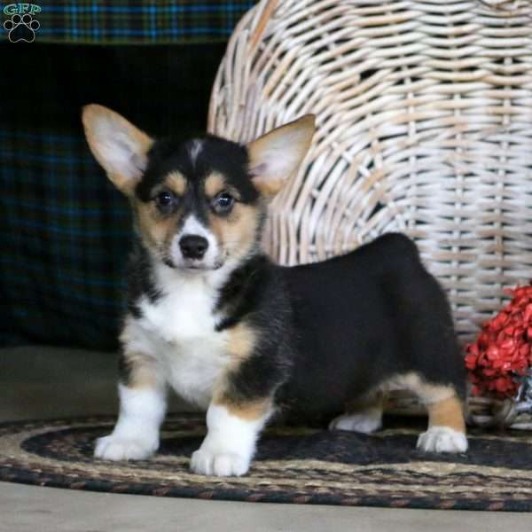 Charity, Pembroke Welsh Corgi Puppy