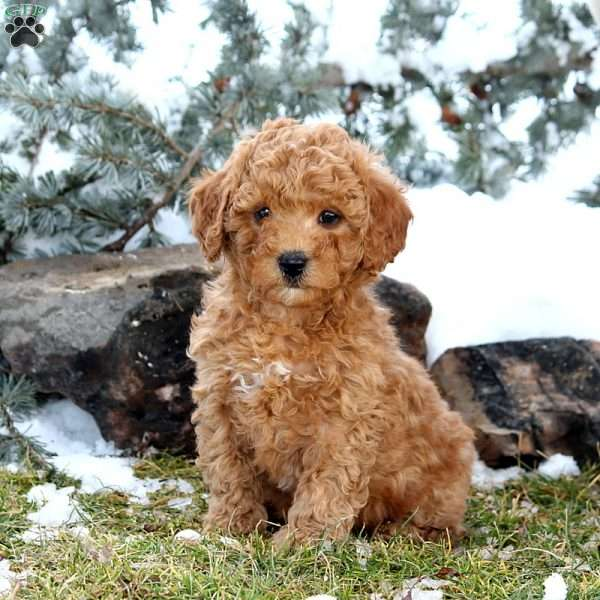 Charley, Mini Goldendoodle Puppy