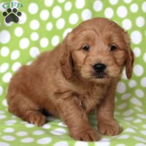 Chester, Mini Goldendoodle Puppy