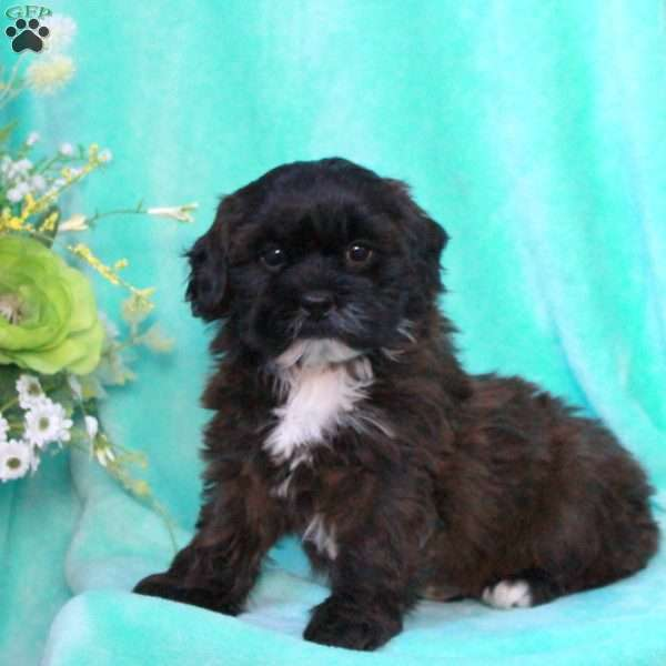 Crity, Shih-Poo Puppy