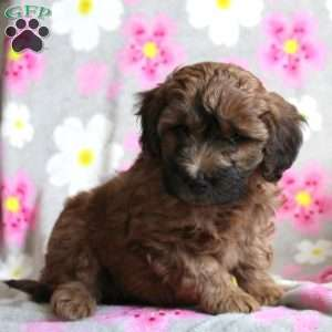 Dahlia, Mini Goldendoodle Puppy