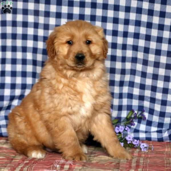 Dalton, Golden Retriever Puppy