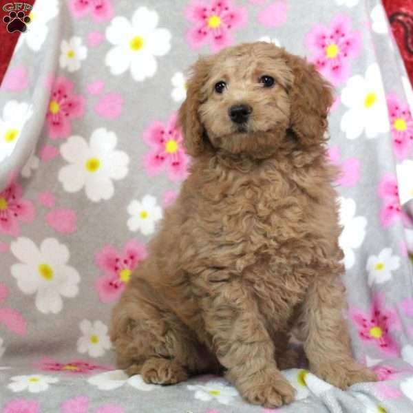 Debbie, Mini Goldendoodle Puppy