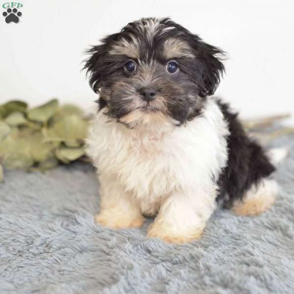 Decker, Havanese Puppy