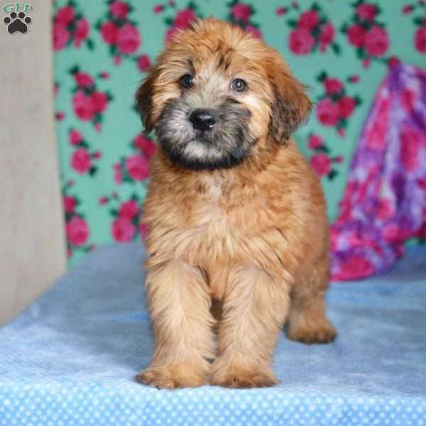 Dennis Soft Coated Wheaten Terrier Puppy For In Ohio