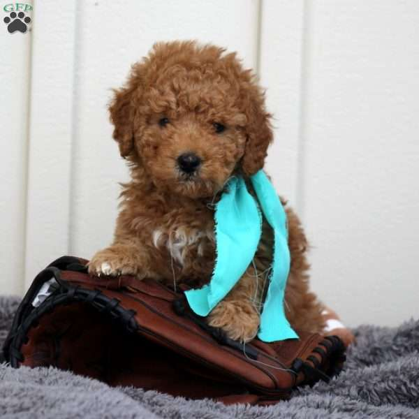Dillon, Mini Goldendoodle Puppy