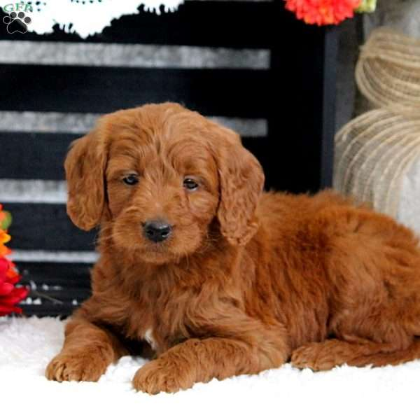 Dolly, Mini Goldendoodle Puppy