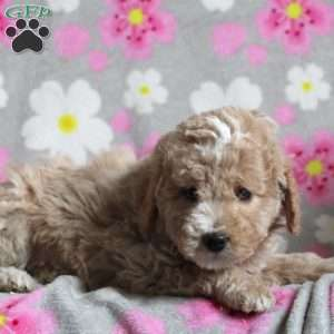 Dougie, Mini Goldendoodle Puppy