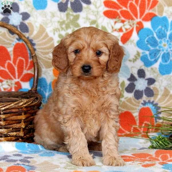 Duncan, Mini Goldendoodle Puppy