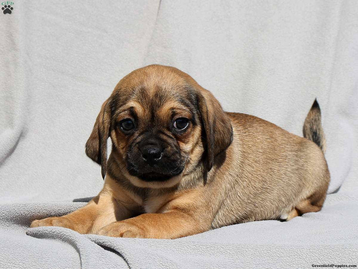 Dwayne - Puggle Puppy For Sale in Pennsylvania
