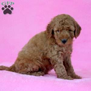 Emery, Mini Goldendoodle Puppy
