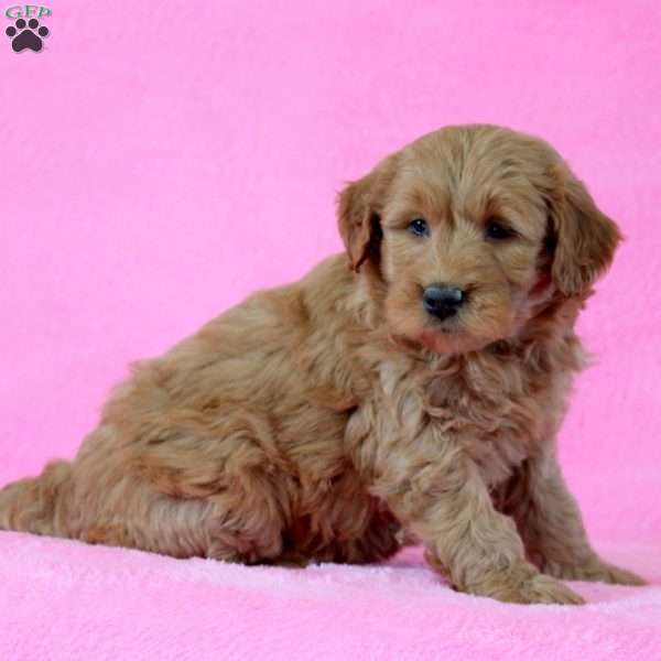 Emmy, Mini Goldendoodle Puppy
