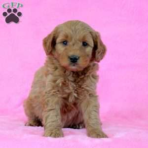 Erikson, Mini Goldendoodle Puppy