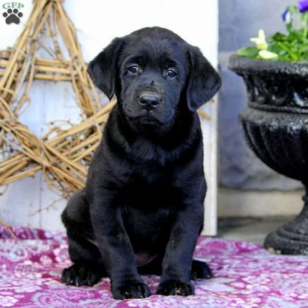 Favor, Black Labrador Retriever Puppy