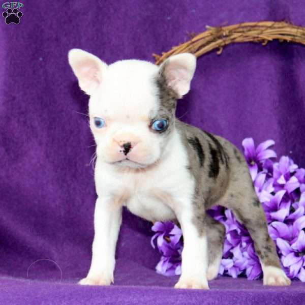 Flossie, Boston Terrier Puppy