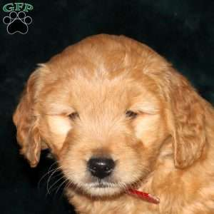 Gabe, Mini Goldendoodle Puppy